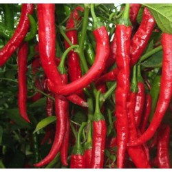 Sweet pepper long des Landes