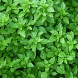 Basil Fin Vert (Green Fine)