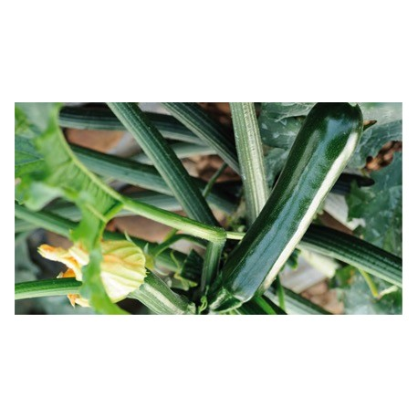 Courgette SYROS