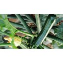 Courgette Syros F1