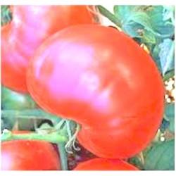Tomato Ponderosa Pink