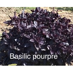 Basil puple