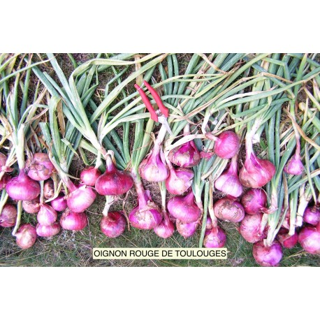 Onion Red of TOULOUGES